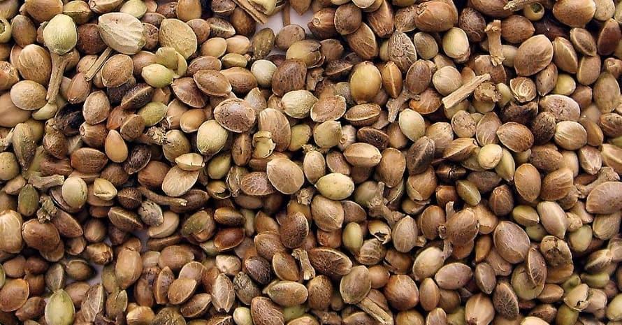 Do Cannabis seeds go bad