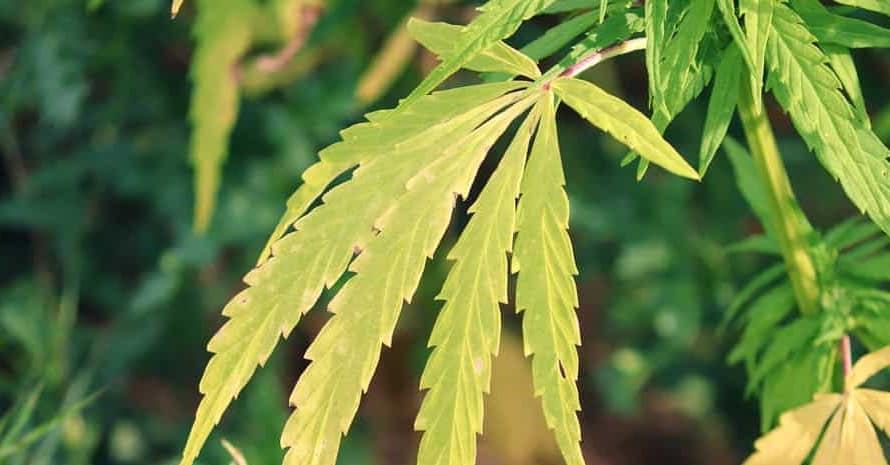 Dry marijuana leaf