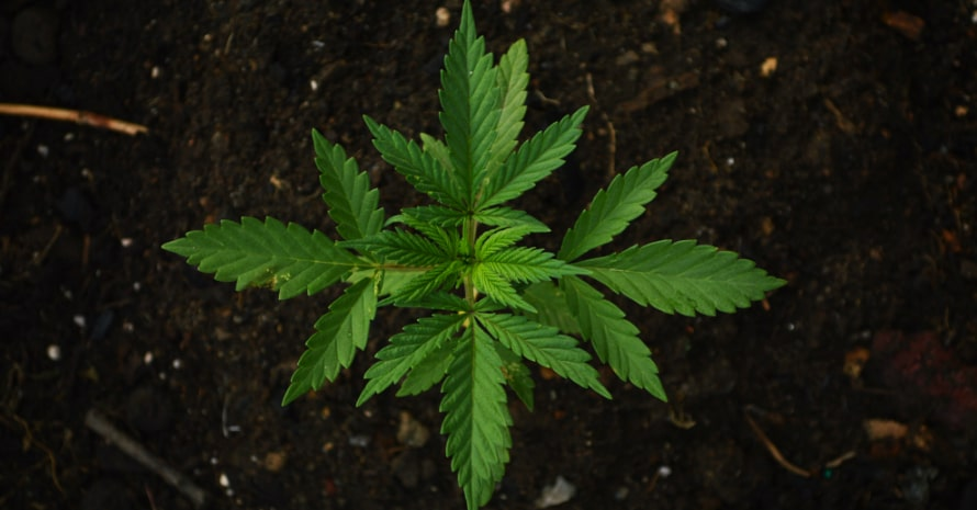 Marijuana sprout in the ground