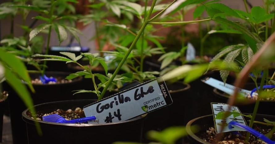 Cloning Gel for Marijuana