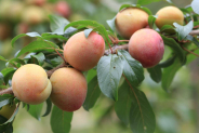 Apricot Pruning: How And When To Prune
