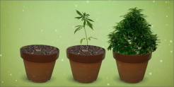7 Steps Weed Grow Guide Easily Grow Quality Cannabis