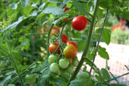 How to Grow Tomatoes – Tips, Techniques and Tying