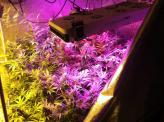 Best 100 Watt LED Grow Light for Growing Cannabis