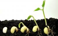 Germinating seeds as