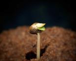 How To Germinate Autoflowers (Week 1)