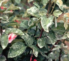 How to fight the Mildew on the rosebush?