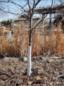 Protection of fruit trees for the winter, damage to the bark of fruit trees by loads