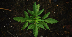 Best Soil for Cannabis: Top Picks & Buyers Guide
