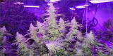 Best 600 Watt LED Grow Light for Growing Cannabis: A Detailed Guide Into the 600 Watt World