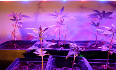 Best 300 Watt Led Grow Light for Growing Cannabis